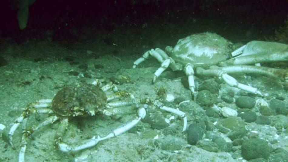 12_19 La centolla es un crustaceo