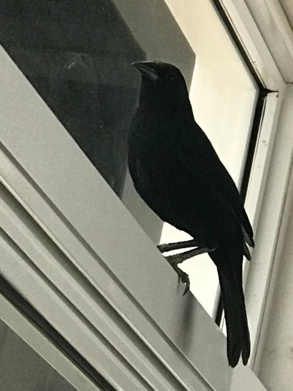 03 Pajaro negro